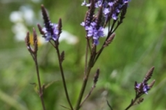 blue_vervain_2