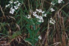 Flowering Spruge