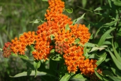 butterfly_weed_1