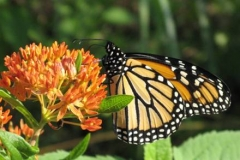 butterfly_weed_2