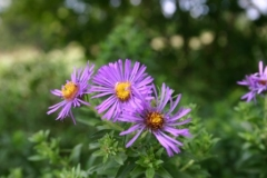 new_england_aster_2