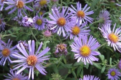 new_england_aster_3