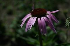 purple_coneflower_2