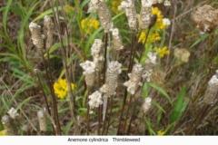 Anemone cylindrica