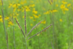 big_bluestem_2
