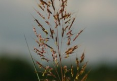 indiangrass_1
