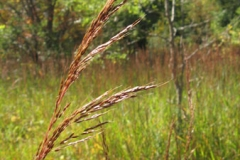 indiangrass_3