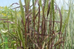 virginia_rye_grass_2