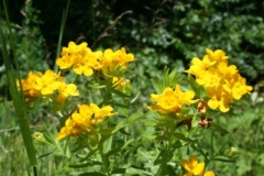 hoary_puccoon_1