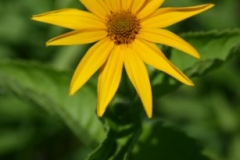 saw_toothed_sunflower_1
