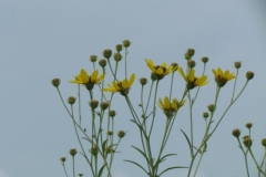 tall_coreopsis_1