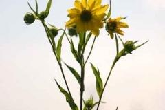 tall_sunflower_1